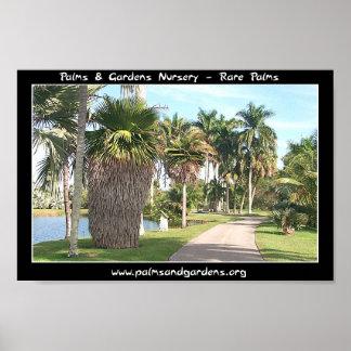 Copernicia macroglossa palm tree poster