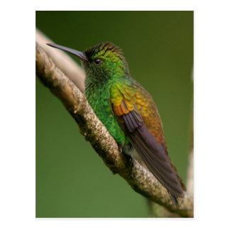 Copper Rumped Hummingbird Postcard
