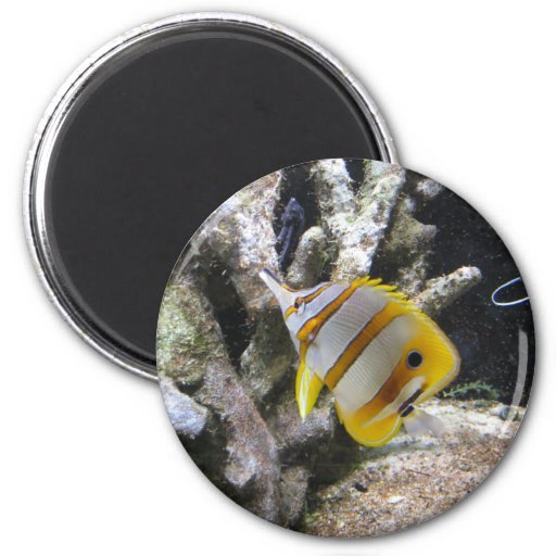 Copperband Butterflyfish is pretty at the AC aquarium.  Beautiful Photograph taken by Amy Marie.  Copyright Amy Marie.