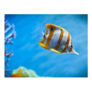 Copperband butterflyfish postcard