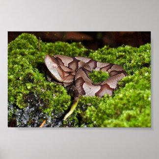 Copperhead juvenil, serpiente venenosa, Georgia, Póster