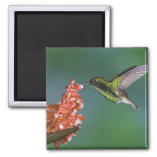 Coppery-headed Emerald, Elvira cupreiceps, 2 Inch Square Magnet