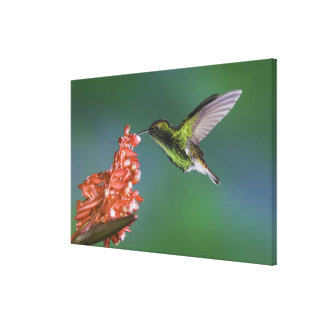 Coppery-headed Emerald, Elvira cupreiceps, Canvas Print