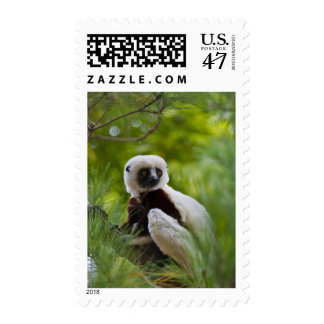 Coquerel's Sifaka in the forest 2 Postage