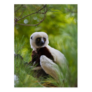Coquerel's Sifaka in the forest 2 Postcard