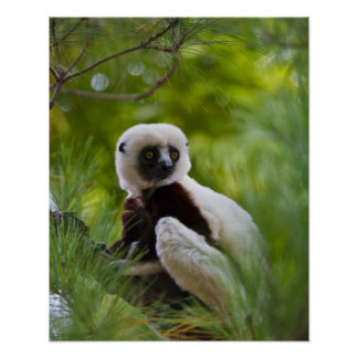 Coquerel's Sifaka in the forest 2 Poster