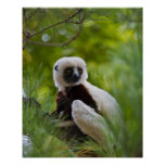 Coquerel's Sifaka in the forest 2 Posters