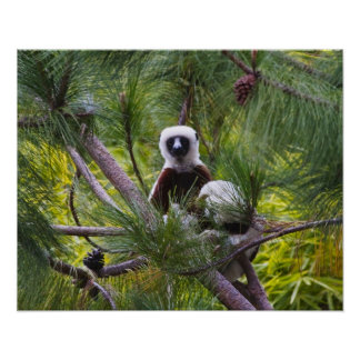Coquerel's Sifaka in the forest Print