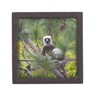 Coquerel's Sifaka in the forest Premium Trinket Boxes
