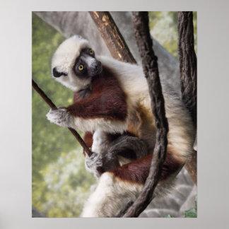 Coquerel's Sifaka Lemur Portrait Posters