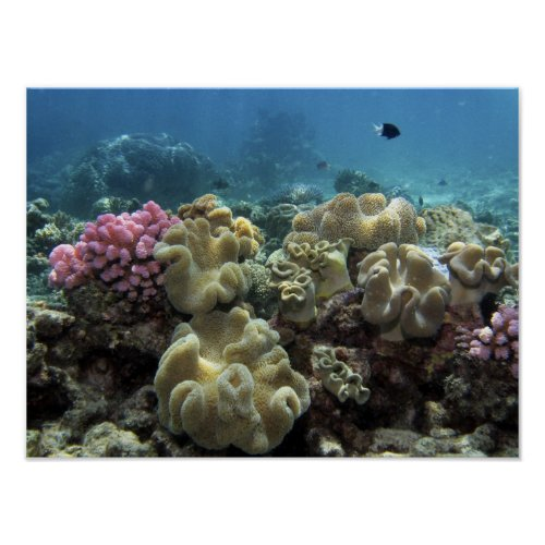 Coral Agincourt Reef Great Barrier Reef Poster