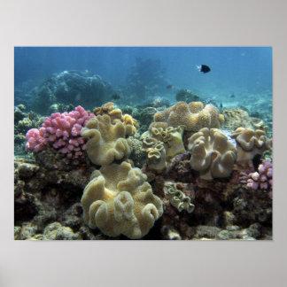 Coral, filón de Agincourt, la gran barrera de cora Póster