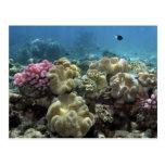 Coral, filón de Agincourt, la gran barrera de cora Postal