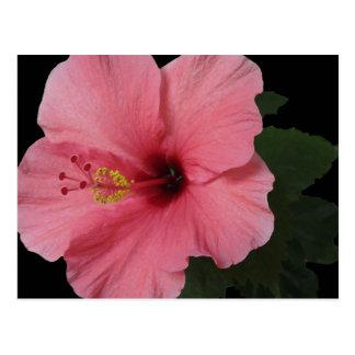 Coral Hibiscus Postcard