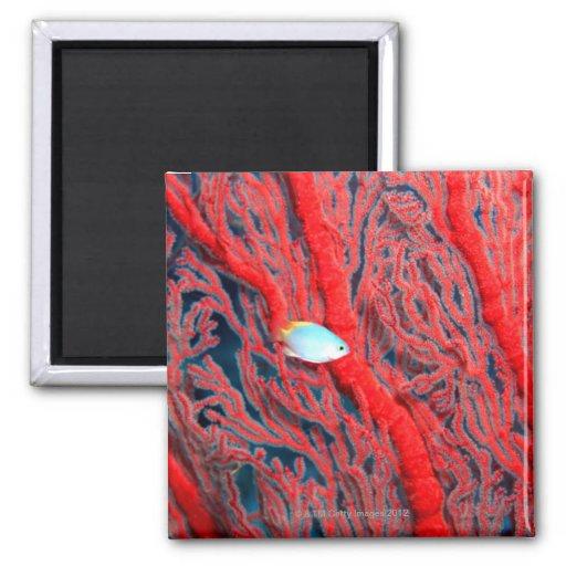 coral imán cuadrado