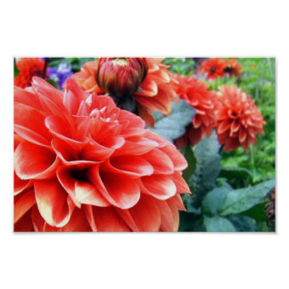 Coral Pink Dahlia Flower Poster