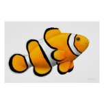 Coral Reef Percula Clownfish Poster