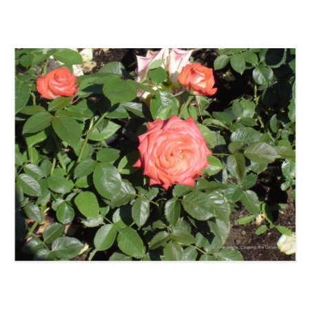 Coral Rose Bush Post Cards