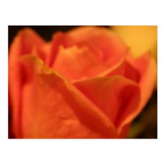 Coral Rose Postcard
