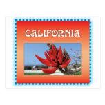 Coral Tree in California Postcard