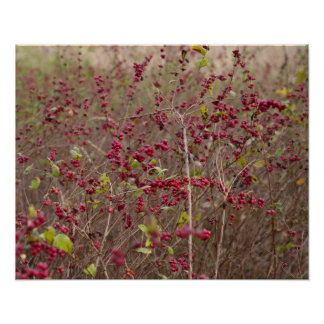 Coralberry Poster