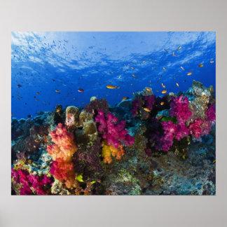 Corales suaves en el filón bajo, Fiji Póster