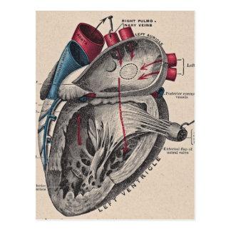 Corazón anatómico del vintage postal