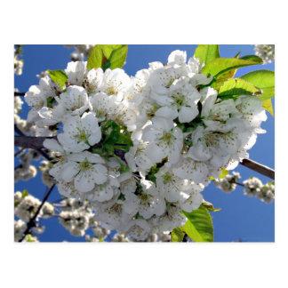 Corazón de la flor de cerezo postales