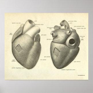 Corazón humano de la impresión de la anatomía del posters