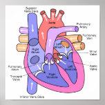 Corazón humano póster