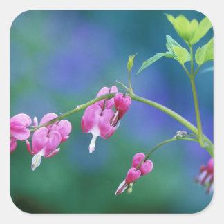 Corazones sangrantes rosados en jardín. Crédito Pegatina Cuadrada
