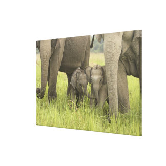 Corbett National Park, Uttaranchal, India. Gallery Wrapped Canvas