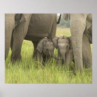 Corbett National Park, Uttaranchal, India. Poster