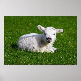 Cordero del bebé en hierba poster