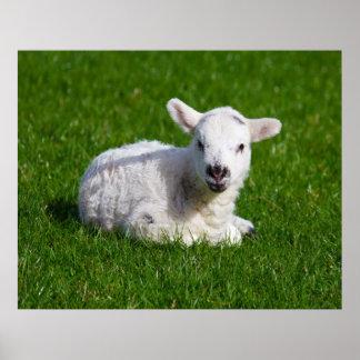 Cordero lindo recién nacido en hierba verde posters