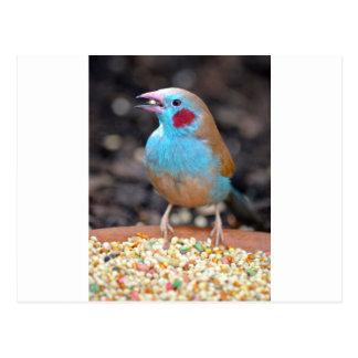 Cordon Bleu Finch Postcard