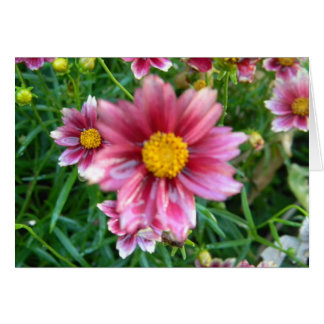 Coreopsis Cranberry Ice Tickseed Blank Card