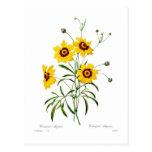 Coreopsis elegans postcard