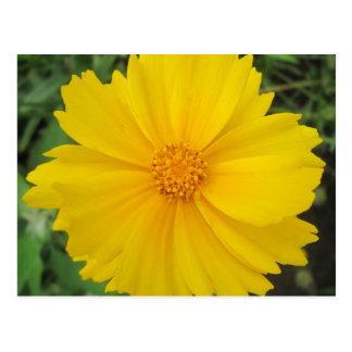 Coreopsis Yellow Flower Bloom Postcard