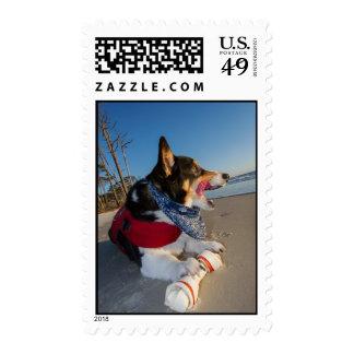 Corgi Licking his Chops Postage Stamp
