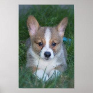 Corgi pup poster