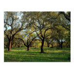 Cork oak forest, Alentejo, Portugal in Europe Post Card