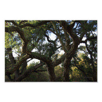 Cork oak or tree of the cork, elegant tree photo print