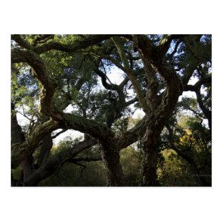 Cork oak or tree of the cork, elegant tree postcard