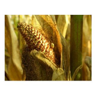 Corn close up postcard