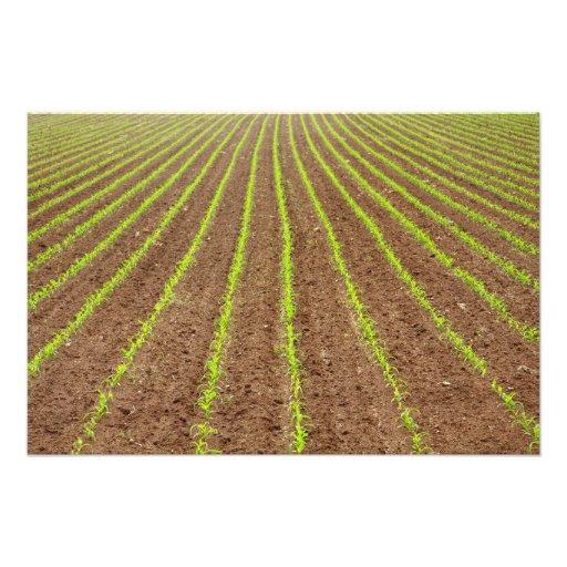 Corn field photo art
