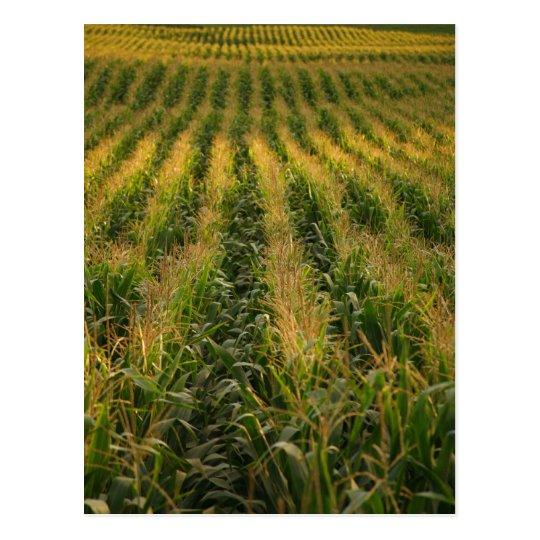 Corn field postcard