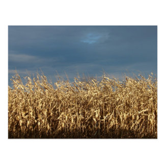 Corn Field Postcard