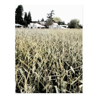 Corn Field Postcards
