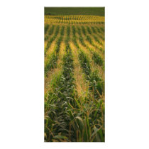 Corn field rack card